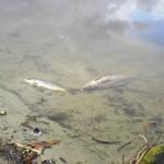 Fungo provoca morte de peixes na Lagoa da Vela