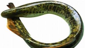 01 lampreia