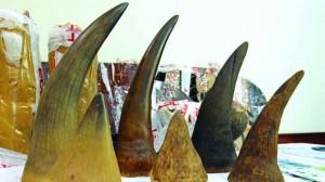 Portugal: PJ deteve dois homens na posse de oito chifres de rinoceronte