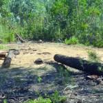 Homem morre em Soure atingido por  um pinheiro