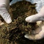 Nervosismo denuncia mais de mil doses de cannabis dentro do carro