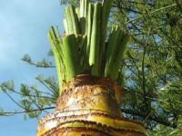 Câmara de Pombal corta palmeiras do Jardim do Cardal