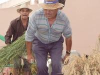 São Silvestre recria apanha  do arroz à antiga