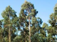 Eucalipto ganha terreno à floresta autóctone na Serra da Lousã