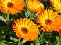 Calêndula e outras plantas silvestres estudadas para atenuar falta de alimentos