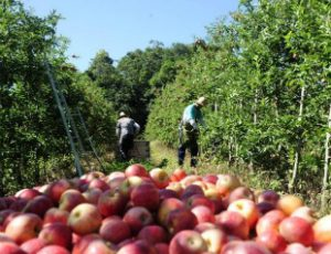 Produção de maçã na UE com quebra de 3% em 2016