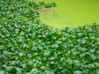 Erradicação de planta infestante em Montemor-o-Velho custou mais de 30 mil euros