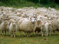 Redução do número de ovelhas ameaça queijo da serra certificado