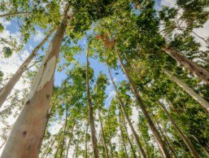 Aldeia de xisto decide arrancar eucaliptos e plantar árvores mais resistentes