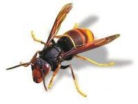 Quase 600 ninhos de vespa asiática detetados no distrito de Coimbra