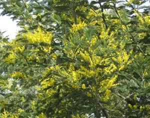 Bióloga defende que reflorestação não pode ignorar invasoras