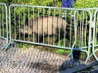 Javali capturado em Coimbra está no Parque Biológico em Miranda