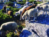Governo paga 34 euros por ovelha bordaleira da Serra da Estrela