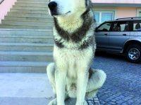 Zucky é um husky siberiano de quatro anos