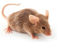 Praga de ratos confirmada mas sem perigo para a saúde pública