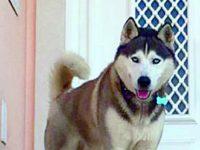 Zucky é um husky siberiano