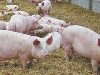 Denúncia de poluição de suinicultura de Murtede chegou à Assembleia da República