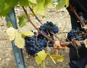Vindima de grande qualidade na Bairrada anuncia bons vinhos e espumantes