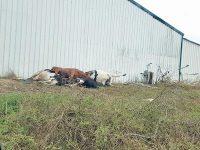 Seis vacas mortas durante uma semana a céu aberto em exploração pecuária