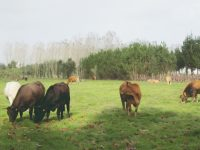 30 vacas à solta assustam população nos Covões