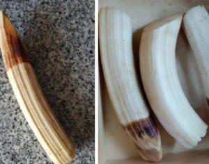 ASAE apreende 4 dentes de marfim de cria de elefante na Figueira da Foz