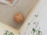 Cantanhede: 666 ninhos de vespa asiática eliminados nos últimos cinco anos