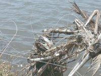 Aves dizimadas por redes de proteção da aquacultura no estuário do Mondego
