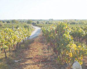Município de Cantanhede inaugura Rota da Vinha com 14 quilómetros