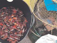 Governo quer controlar praga de lagostim nos rios